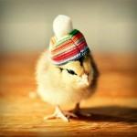 Anak Ayam