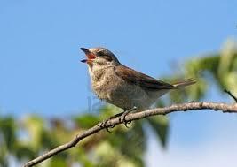 Burung Burung Bernyanyi