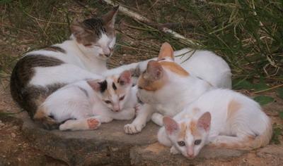 Kucing Meong Meong